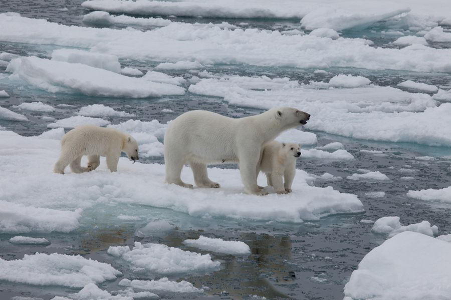Polar bears in IMAX documentary To the Arctic